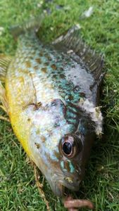 Green Sunfish — Morgan Srl