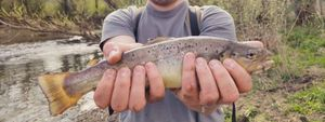 Brown Trout — Robin Monkey Fishing