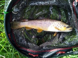 Brown Trout — Romuald Suard