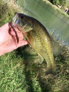 Largemouth Bass — Maxime Raffray