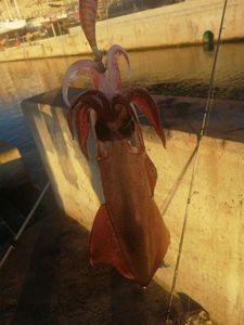 European Squid — Adrien fishingriverandsea