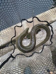 European Eel (Common Eel) — Joseph Gonnord