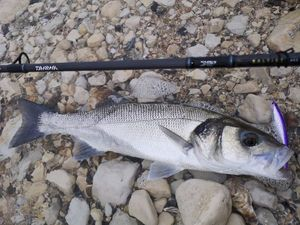 European Bass — surfcasting lx