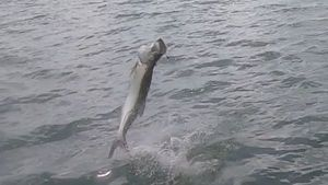 Tarpon — Tynilla Fishing