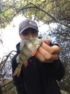 European Perch — maxou lbs