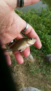 Ruffe — Scary Fishing