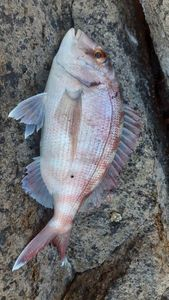Red Porgy — Antho AFC
