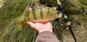 European Perch — Gautier Surville