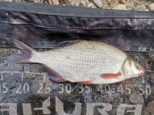 Common Bream — Geoffroy Amard