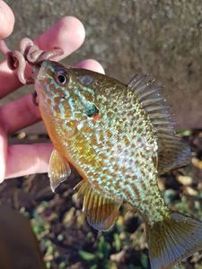 Green Sunfish — Thibault Pechereau