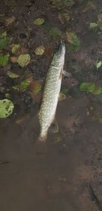 Northern Pike — Matt Gondolf