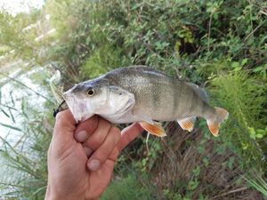 European Perch — Guillaume Fishbreizh
