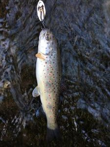 Brown Trout — Bastien Cartaillak