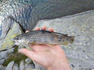 Brown Trout — Félix Chevillotte