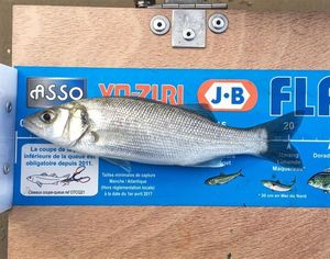 European Bass — David Barbeau