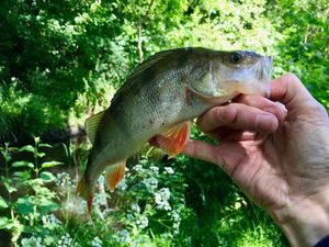 European Perch — Arnaud Fishing