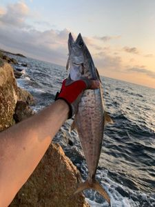 King Mackerel — Philippe Attias