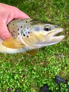 Brown Trout — Alain Hiltbrunner