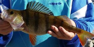 European Perch — Cantal Auvergne