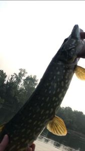 Northern Pike — Florian Pingrenon