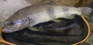 Brown Trout — Firmin Bailly-basin