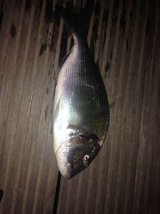 Gilthead Seabream — Etienne Rouby