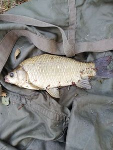 Crucian Carp — cool fishing 86