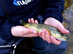 Brown Trout — Gaetan Albecq