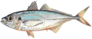 Atlantic Horse Mackerel