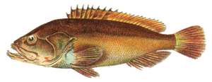 Brown Grouper