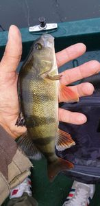 European Perch — Jeremy JB