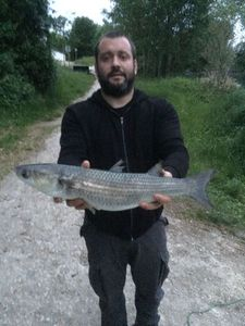 Golden Grey Mullet — Eddy Léger