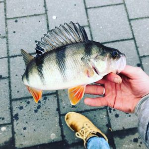 European Perch — Marcel Schaaf