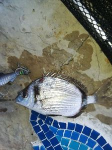 Common Two-banded Seabream — Arnaud Vella