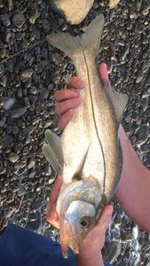Common Snook — Shadow REX