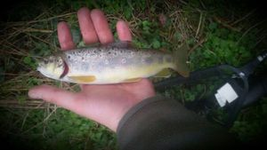 Brown Trout — Ch Peignoir