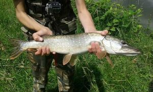 Northern Pike — Kr Fish