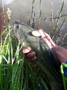Largemouth Bass — Guillaume Besancon