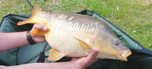 Mirror Carp — Djay carpfishing