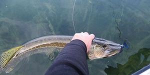 Northern Pike — Boubou Bou