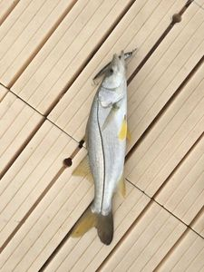 Snook (Brochet de Mer) — Stephane Roulet