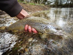 Common Trout — Lou Lou