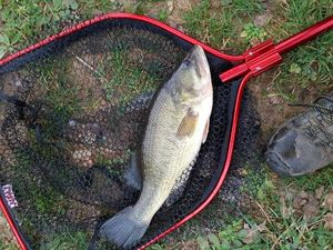 Largemouth Bass — Remi Meha