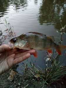 European Perch — Greg peche