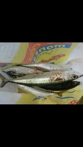 Chub Mackerel — Romain Grasa