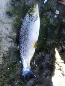 Brown Trout — Stéphane  DUPONT