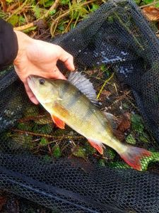 European Perch — Alex.Fishing. 79