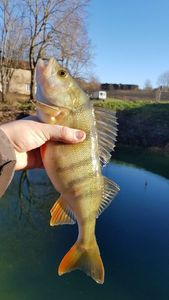 European Perch — Robin Monkey Fishing
