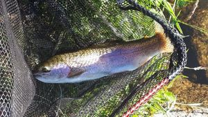 Rainbow Trout — Flux Fly Fishing