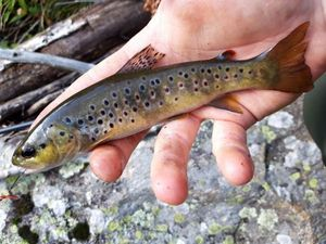 Brown Trout — Jeremy BARRAGAN